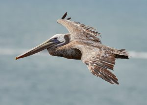 brown pelican in northwest florida