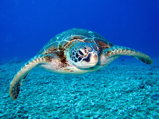 Green-turtle-in-Navarre