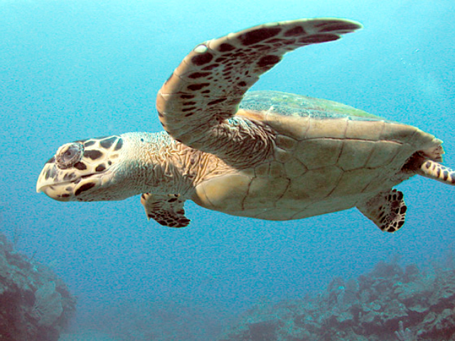 Kemps-Ridley-turtle-in-Navarre