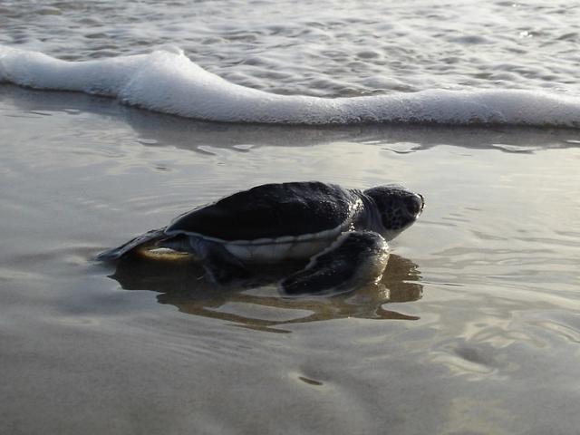Turtles on Navarre Beach